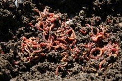 Best environmental conditions for manure worms