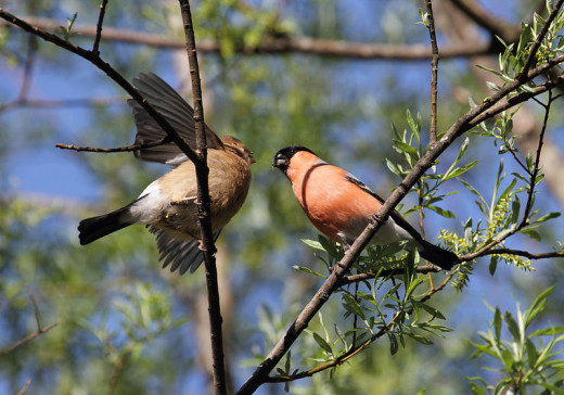 A male bullfinch feeding a young bird.