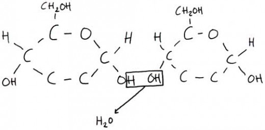 Two alpha-glucose molecules forming a disaccharide molecule.