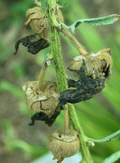 If the flowers are allowed to wither and dry on the stalk, hollyhocks will seed themselves.