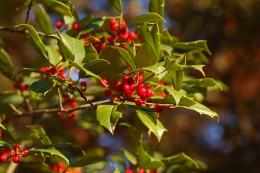 Plants for color in a winter garden. American Holly, Ilex Opaca