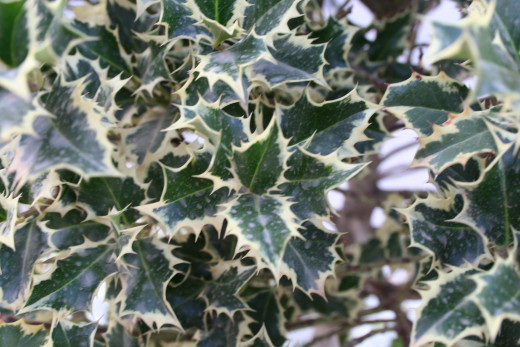English Holly, Ilex Aquifoium. This variety has variegated leaves.