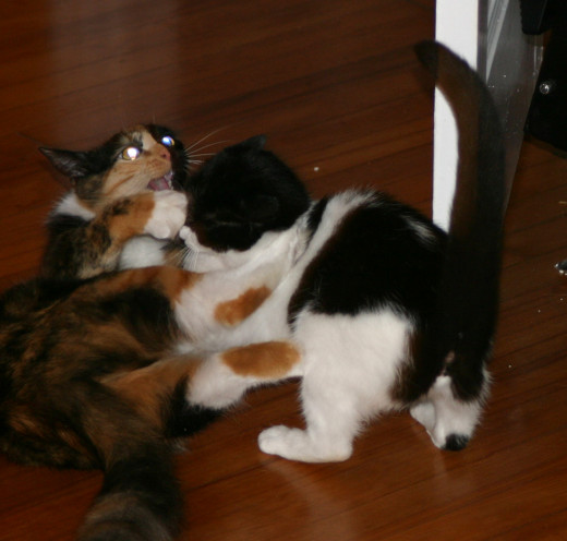 A happy memory of our kittens playing together. Nine years later, they are a lot less frisky!