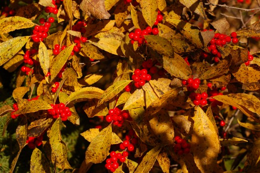 Winter Berry Holly
