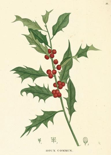 Traditional botanical print of holly, showing the serrated leaves and blood red berries.