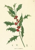 Why Everyone Should Plant Holly In Their Garden