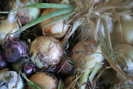 Organic onions grown in my garden.