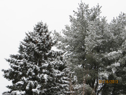 A small snowstorm leaves snow on the trees.