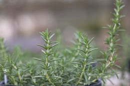 Rosemary has anticancer properties.