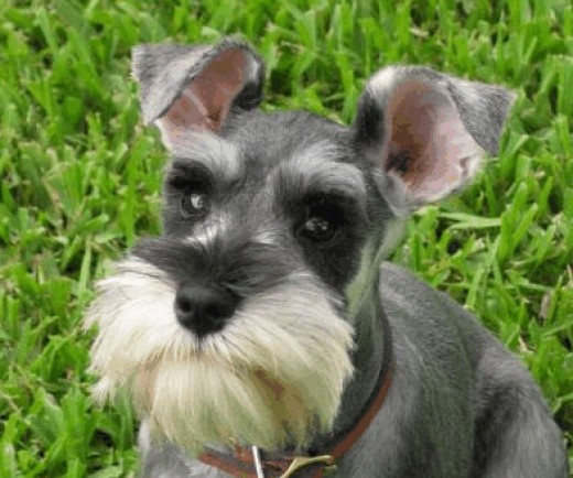 Dog Breeds With Long Whiskers