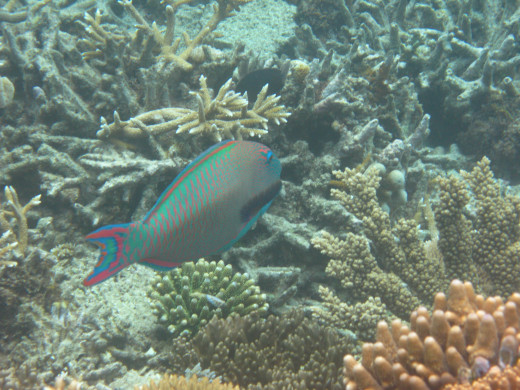 Who's a pretty parrot fish?
