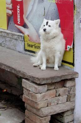 An Indian dog with bindi.