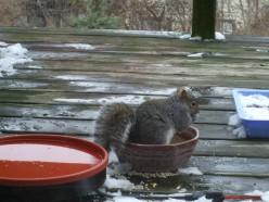 Squirrel sitting inside a food dish.