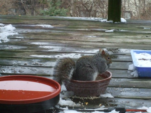 Squirrel sitting inside a food dish.