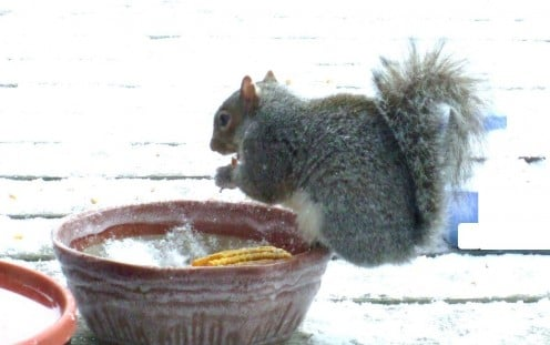 Squirrels don't seem to be able to read, so they eat bird food, too!  This squirrel is perched on a bowl of birdseed.