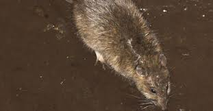 Rats are found in garbage dumps.
