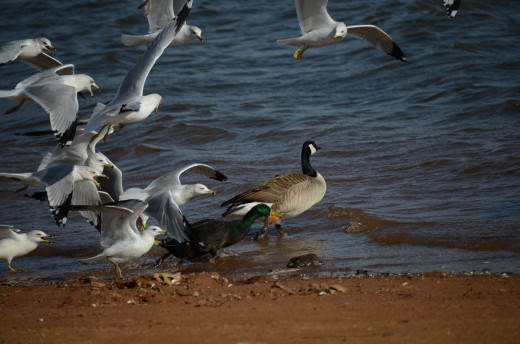 Ring-billed Gulls, Canada Goose, and Mallard