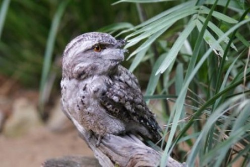 Tawney Owl at Australia Zoo, photographed by Ralph Edgell