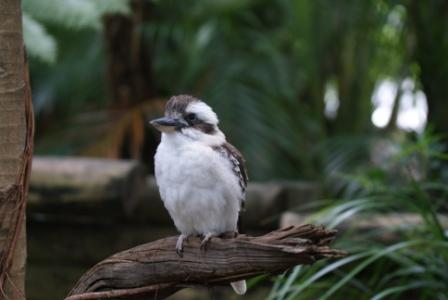 Kookaburra at Australia Zoo, photographed by Ralph Edgell