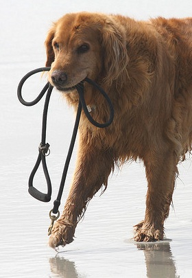 Walking with a leash can be a lot harder with a strong dog.