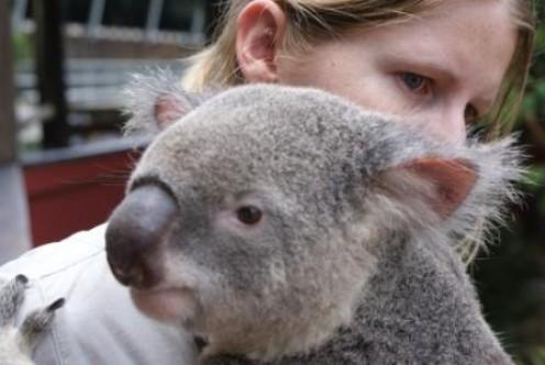 Koala Bear, photographed by Ralph Edgell