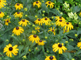 Black Eyed Susan, a closer look