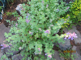 Catmint in bloom