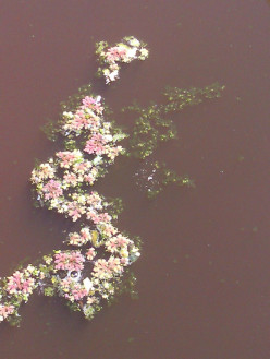 Grey Water and Azolla filiculoides in Tasmania