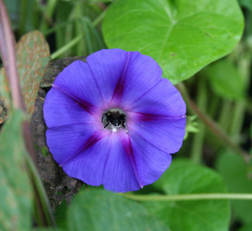Bee pollinating a morning glory flower.
