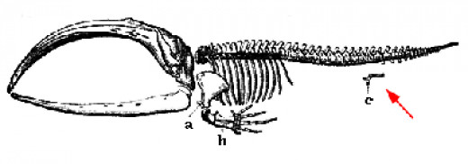 Figure C is the hip-bone of a whale, an evolutionary left-over.