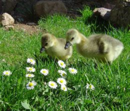 You'll find these goslings on my Easter cards