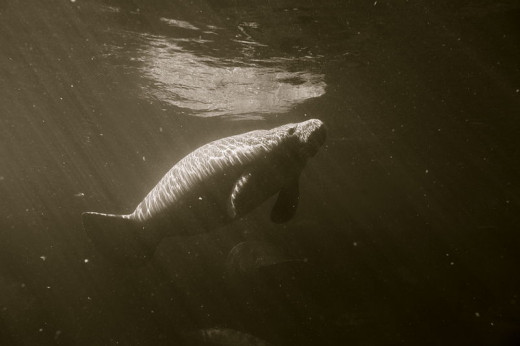 Another manatee photo from Florida