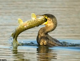 A Cormorant catching a fish for a fisherman.