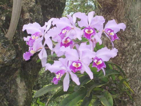 The national flower of Colombia an orchid