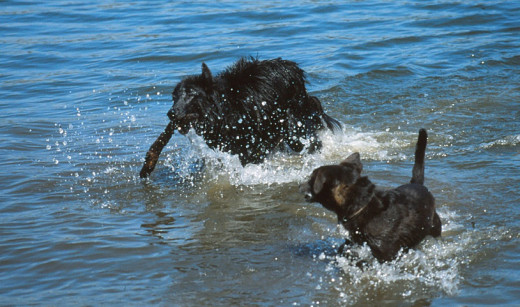 Wet dogs - Groenendael and a terrier mix