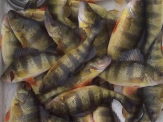 Yellow perch fishing tips for Yellow perch fishing secrets