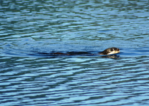 Cape-clawless Otter romping in clear water