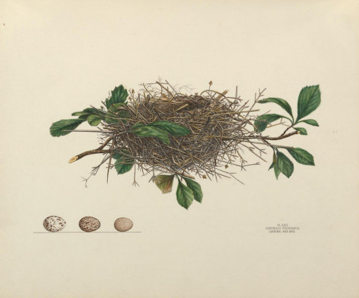 The Illustration was drawn from a nest taken May 20,- 1880, from a low branch of a young hawthorn