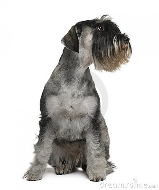 Missing you can make your schnauzer see red.