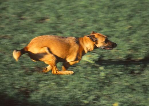 Running dog - GSD cross