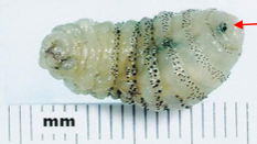 Larvae from the human botfly.