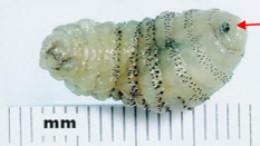 Larvae from the human botfly.
