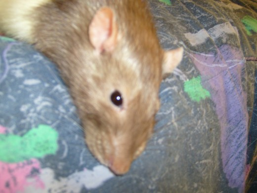 My first rat Dylan. (RIP)  Beauty is in the eye of the beholder.