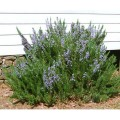 Rosemary - Herb, Spice and Beautiful Plant