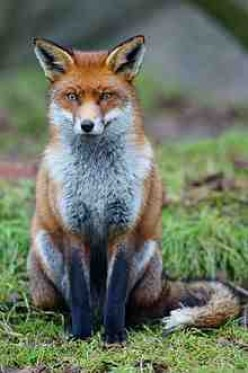 "Looking thoughtful (""Damn, I didn't mean to bite that kid!) a fox in Britain"