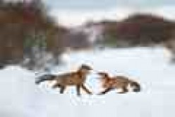 Foxes in snow
