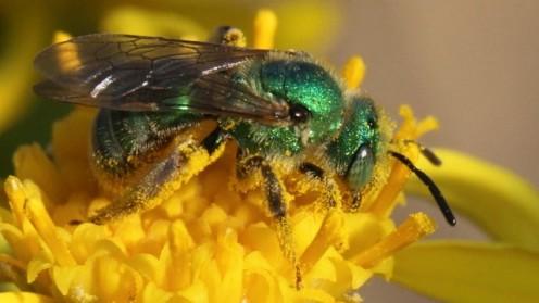 A bee at Pinnacles.