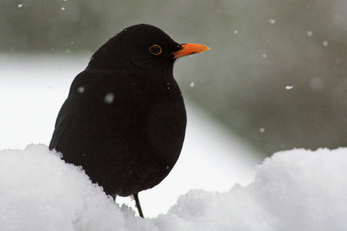 Author Si Griffiths http://commons.wikimedia.org/wiki/File:Blackbird_Blackbird_(Turdus_merula)_In_Snow.jpg