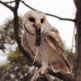 Barn owl with mouse.