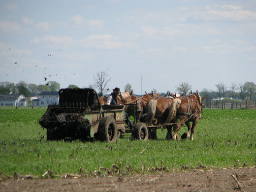 An Amish Farmer preparing his fields with fresh manure.  Spring time can be very fragrant in the Amish country.